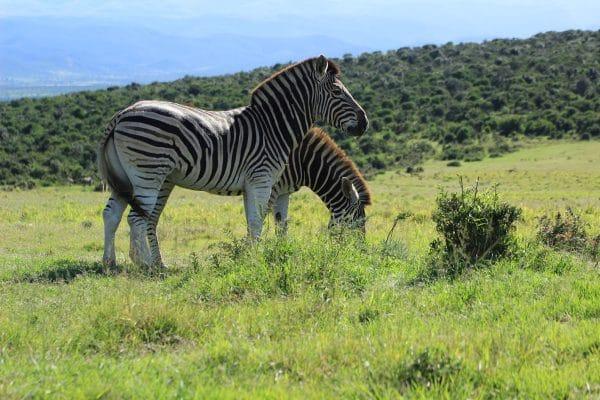 Zebras Beim Grasen Im Addo