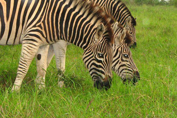 Zebras Im Addo Mit Leuchtenden Augen