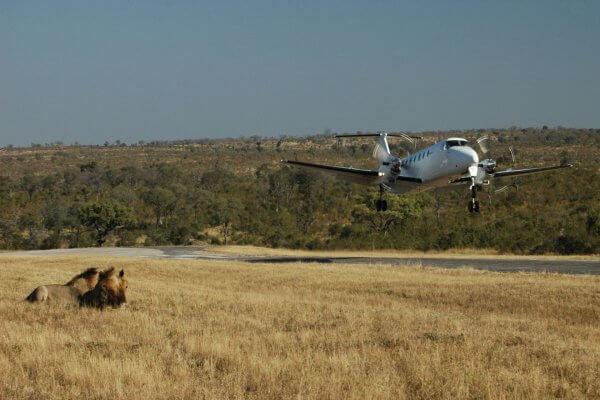 Suedafrika Flugsafari Loewe Auf Buschpiste