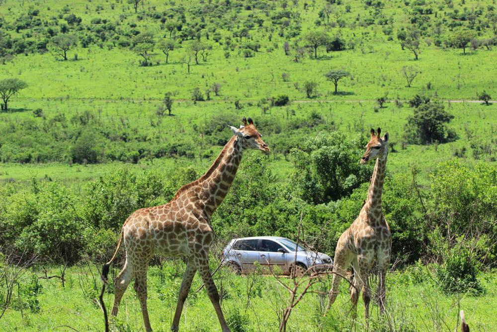 Giraffen vor einem Auto im Hluhluwe-iMofolozi National Park