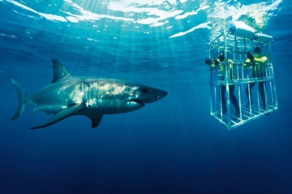 Haitauchen Mit Einem Weißen Hai In Kaptadt