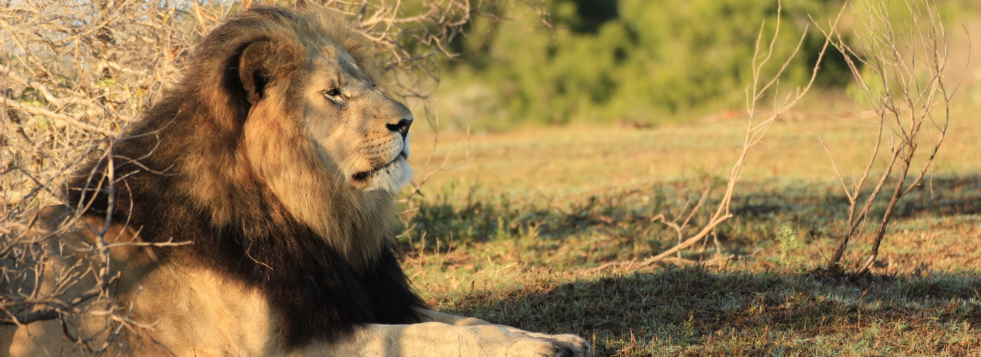 Löwe im Kariega Game Reserve