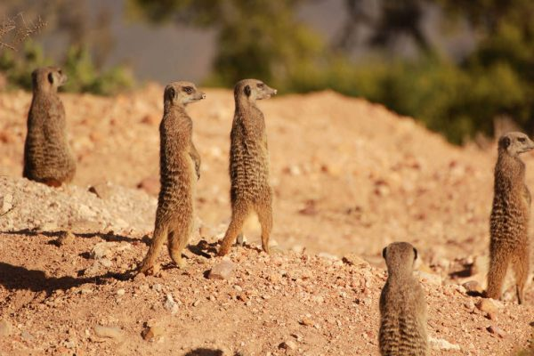 Erdmännchen In Südafrika