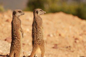 Erdmännchen Safari In Oudtshoorn