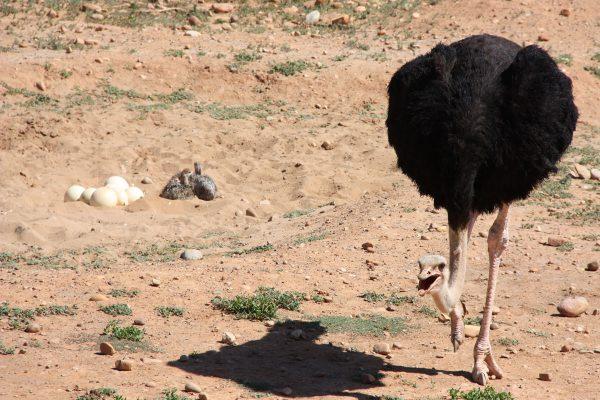 Safari Ostrich Farm Straussennest