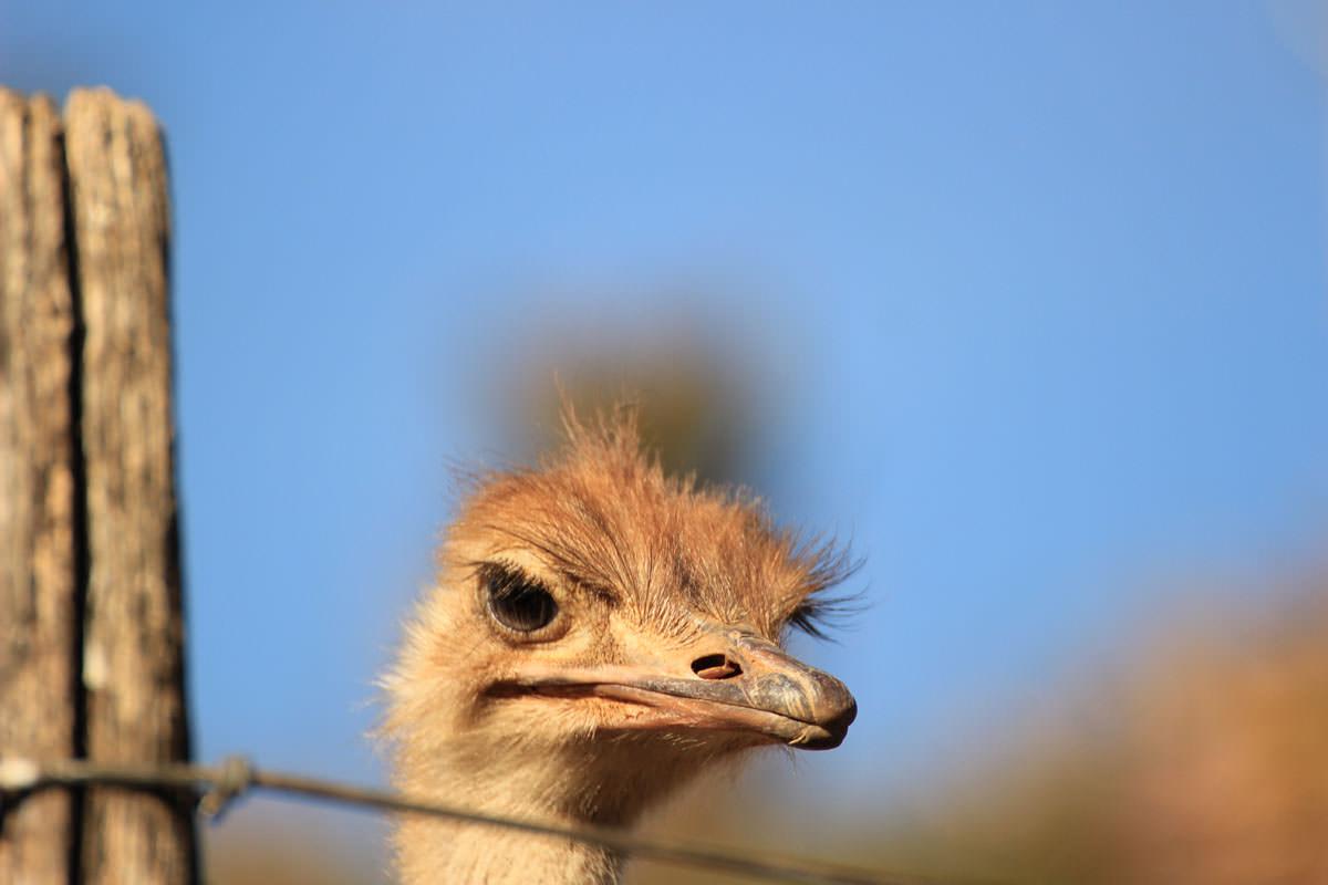 Berluda Ostrich Tour