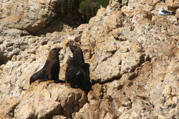 Suedafrika Robben Robberg Halbinsel Auf Felsen