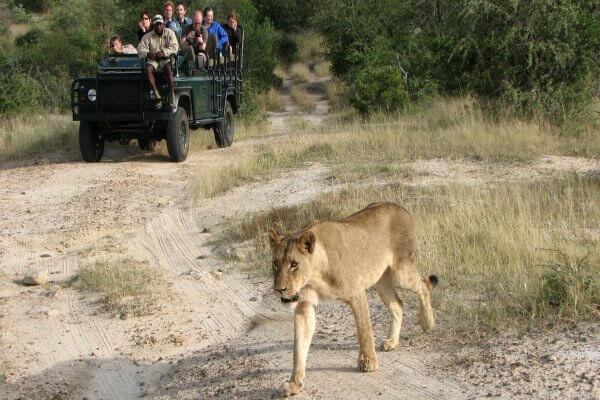 Suedafrika Sabi Sand Loewe Vor Safarifahrzeug