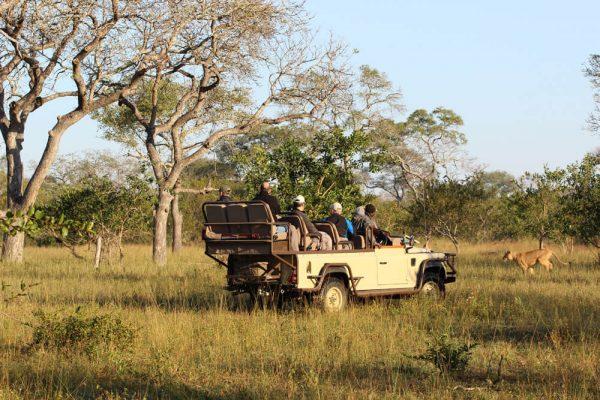 Löwenbeobachtung im privaten Game Reserve mit Ranger im offenen Geländewagen