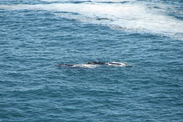 Walbeobachtung Vom Tsitsikamma Nationalpark