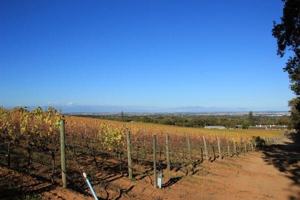 Constantia Weingebiet Weinreben