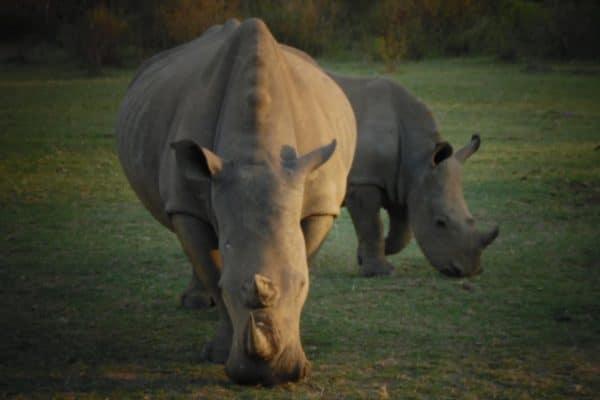 Nashorn Im Welgevonden Game Reserve