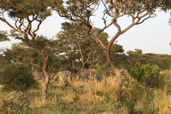 Zebras Im Welgevonden Game Reserve