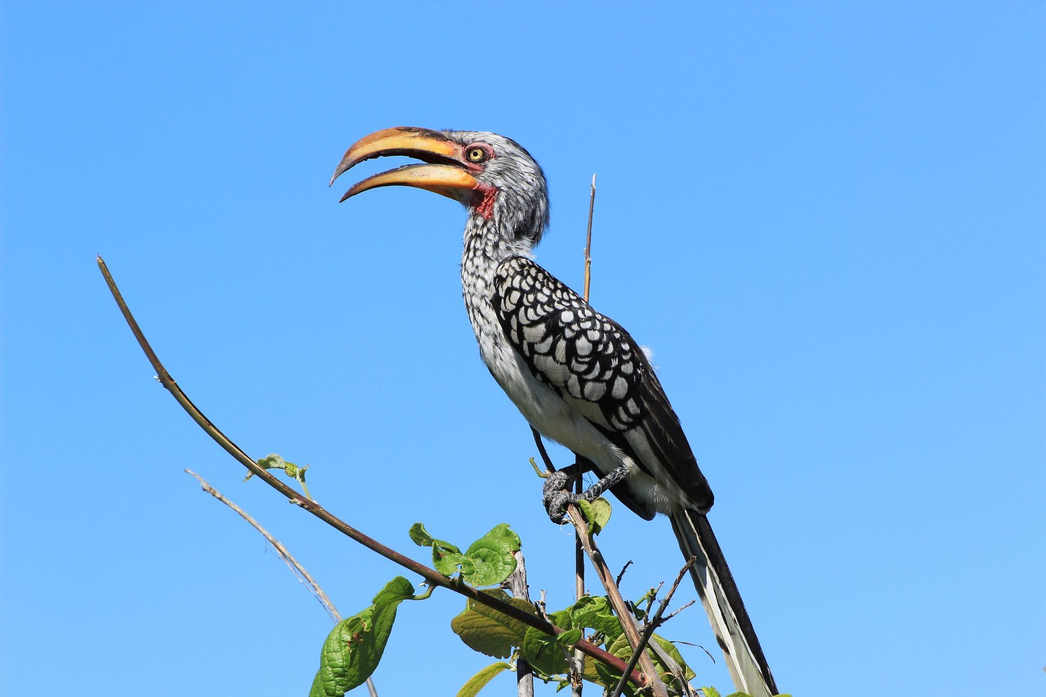 Südlicher Gelbschnabeltoko | Chobe National Park