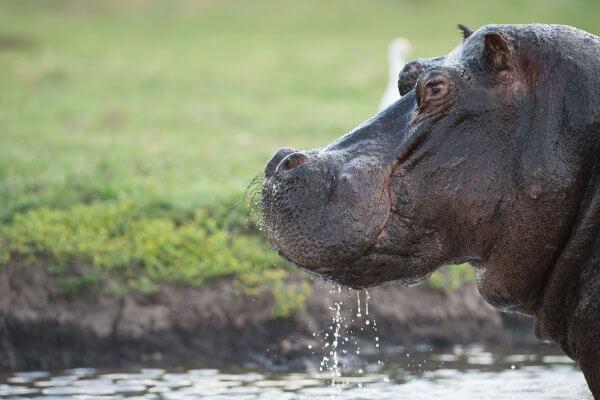 Sunway Botswana Chobe Hippo