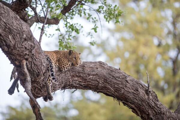 Sunway Botswana Moremi Leopard