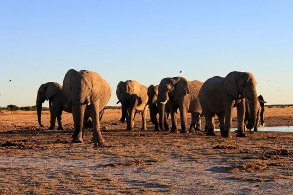 Sunway Botswana Nxai Elephant