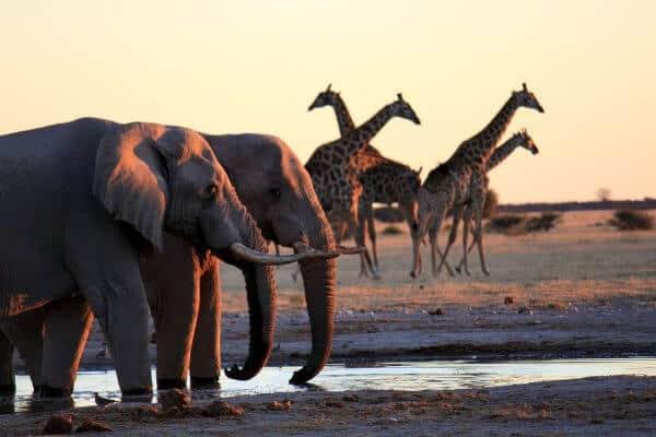 Sunway Botswana Nxai Elephant Giraffe