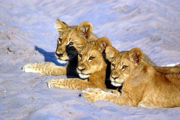 Botswana_savuti_lion_cubs
