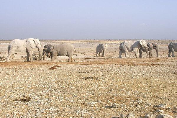 Schmutzige Elefantenherde