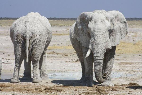 Hellgraue Elefanten