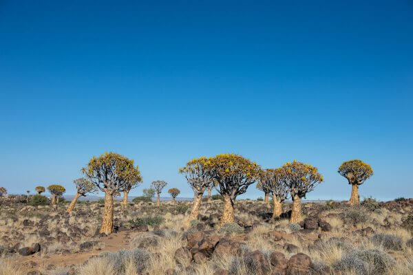 Sunway Namibia Quiver Trees