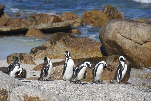 Pinguine Auf Felsen
