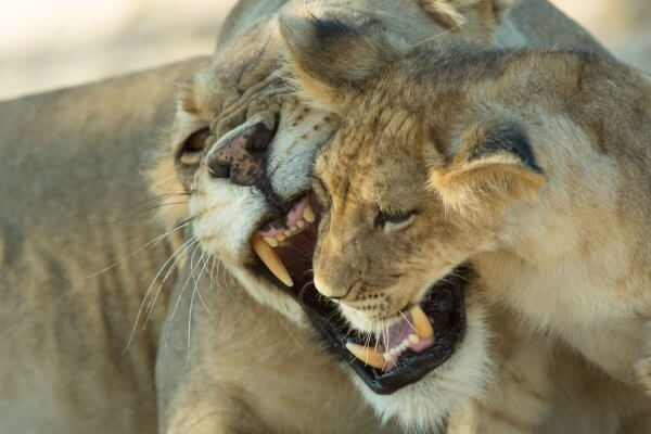 Sunway South Africa Kgalagadi Lions