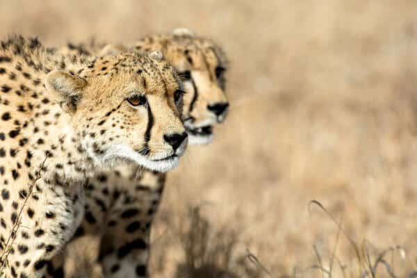 Sunway South Africa Kruger Cheetah