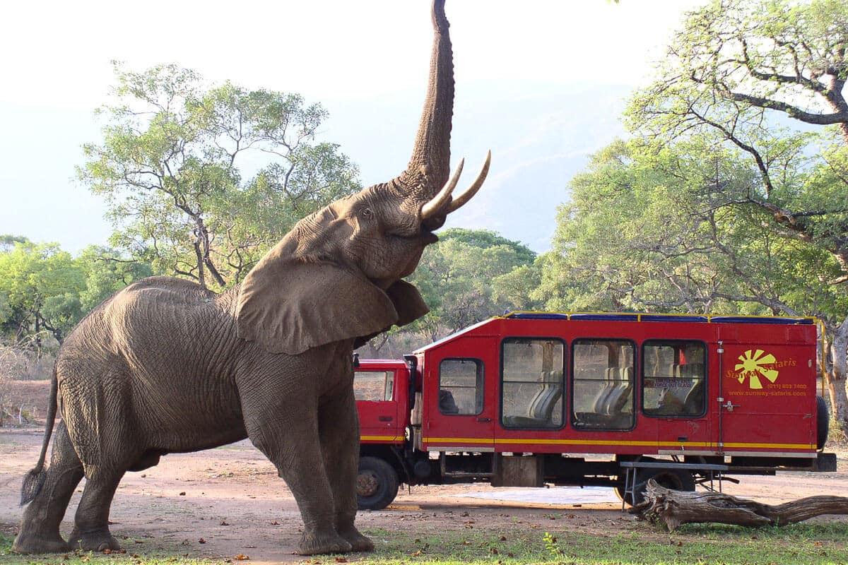 Elefant Trötet Vor Rotem Mountain Truck