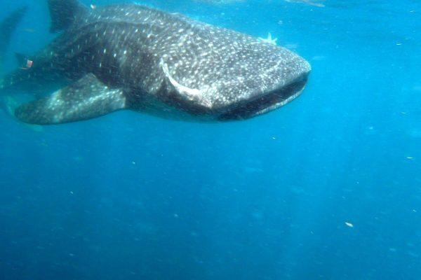 Walhai Schwimmt Im Wasser