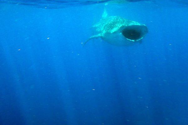 Walhai Gleitet Im Wasser