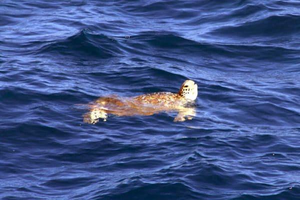 Wasserschildkröte Streckt Den Kopf Aus Dem Wasser