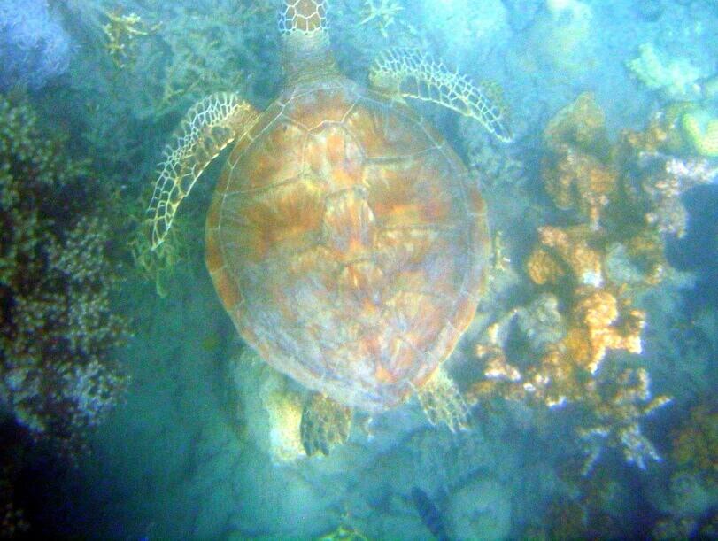 Wasserschildkröte Unter Wasser