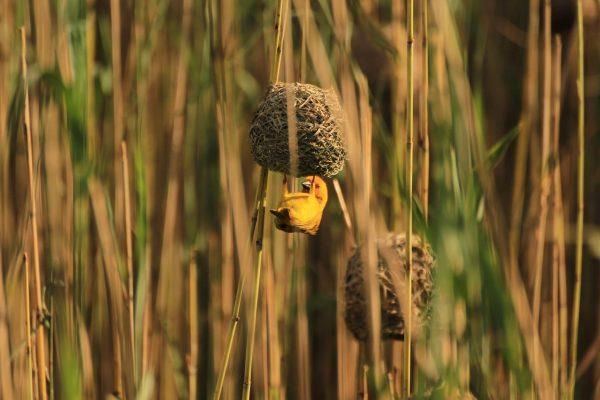 Webervogel | KwaZulu-Natal | Aufnahme November 2013
