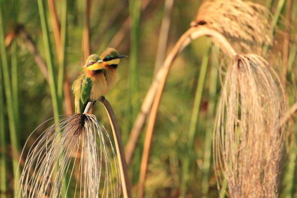 Zwergspint Pärchen Im Okavango Delta
